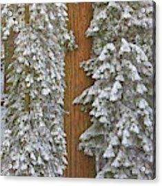 Giant Sequoias And Snow  Acrylic Print by Yva Momatiuk John Eastcott