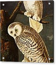 Snowy Owl Acrylic Print by Celestial Images