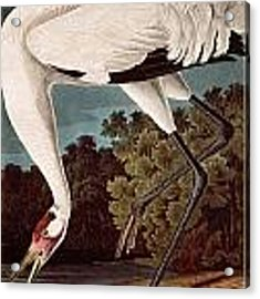 Whooping Crane Acrylic Print by Celestial Images