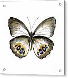 95 Palmfly Butterfly Acrylic Print by Amy Kirkpatrick