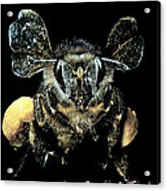 Bee Loaded With Pollen Acrylic Print