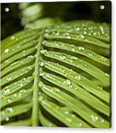 Bending Ferns Acrylic Print by Carolyn Marshall