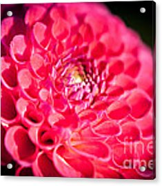 Blooming Red Flower Acrylic Print by John Wadleigh