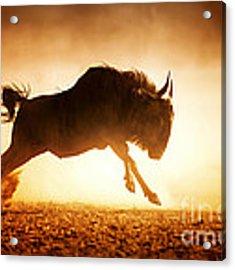 Blue Wildebeest Running In Dust Acrylic Print by Johan Swanepoel