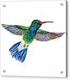 Broadbilled Fan Tail Hummingbird Acrylic Print by Amy Kirkpatrick