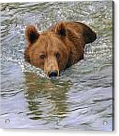 Brown Bear 1 Acrylic Print by David Stribbling