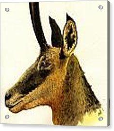 Chamois Deer Acrylic Print by Juan  Bosco