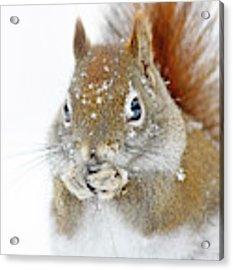 Christmas Squirrel Acrylic Print by Mircea Costina