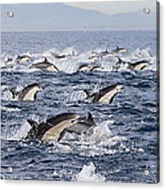Common Dolphins Surfacing San Diego Acrylic Print by Richard Herrmann