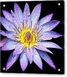 Droplets On A Water Lily. Acrylic Print by Evelyn Garcia