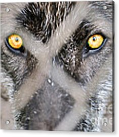 Eyes Behind The Fence Acrylic Print by Dan Friend