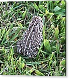 Fowler's Toad In Grass Acrylic Print by Robert Banach