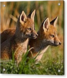 Fox Cubs At Sunrise Acrylic Print by William Jobes