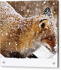 Fox First Snow Acrylic Print by Roeselien Raimond