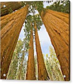 Giant Sequoias And First Snow Acrylic Print by Yva Momatiuk John Eastcott