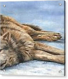 Grey Wolf Painting Acrylic Print by David Stribbling