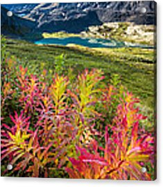 Grizzly Bear Fireweed Acrylic Print by Tim Newton