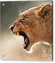 Lioness Displaying Dangerous Teeth In A Rainstorm Acrylic Print by Johan Swanepoel