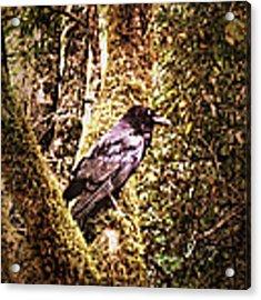 Muir Woods Raven 002 Acrylic Print by Lance Vaughn