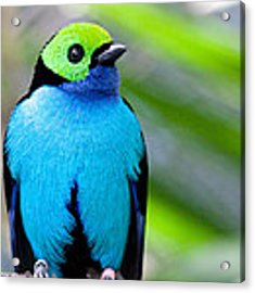 Paradise Tanager Acrylic Print by Nathan Rupert