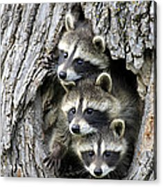 Raccoon Trio At Den Minnesota Acrylic Print by Jurgen and Christine Sohns