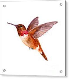 Rufous Hummingbird Acrylic Print by Amy Kirkpatrick