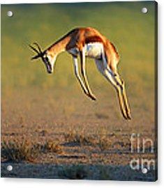 Running Springbok Jumping High Acrylic Print