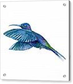 Sabrewing Hummingbird Acrylic Print by Amy Kirkpatrick