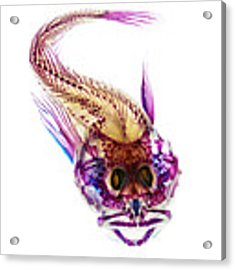 Scalyhead Sculpin Acrylic Print by Adam Summers