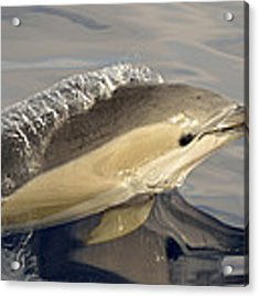 Short-beaked Common Dolphin Azores Acrylic Print by Malcolm Schuyl