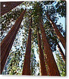 Skyscrapers - A Grove Of Giant Sequoia Trees In Sequoia National Park In California Acrylic Print by Jamie Pham