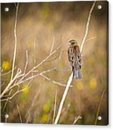 Sparrow In Marshland Acrylic Print by Carolyn Marshall