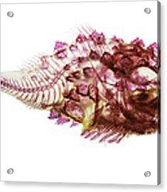 Spiny Lumpsucker Acrylic Print by Adam Summers