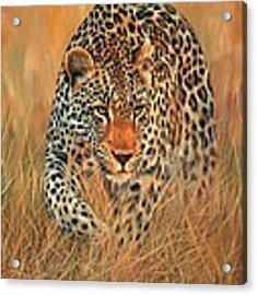 Stalking Leopard Acrylic Print by David Stribbling