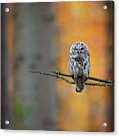 Tawny Owl Acrylic Print by Milan Zygmunt