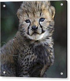Very Young Cheetah Cub Maasai Mara Acrylic Print by Suzi Eszterhas