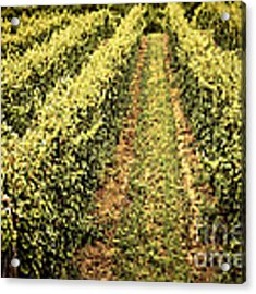 Vines Growing In Vineyard Acrylic Print