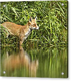What Does The Fox See Acrylic Print