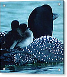 Duck Family Joy In The Lake  Acrylic Print by Colette V Hera  Guggenheim