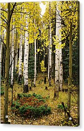 Aspen Grove In Upper Red River Valley Acrylic Print