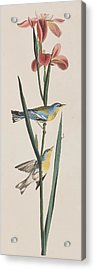 Blue Yellow-backed Warbler Acrylic Print by John James Audubon
