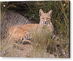 Bobcat At Rest Acrylic Print by Alan Toepfer