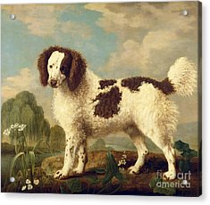 Brown And White Norfolk Or Water Spaniel Acrylic Print by George Stubbs