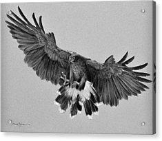 Da181 Harris's Hawk By Daniel Adams Acrylic Print