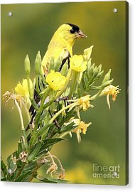 Acrylic Print featuring the photograph  Goldfinch by Debbie Stahre