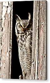 Great Horned Owl Perched In Barn Window Acrylic Print