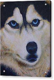 Husky For Cyrus Acrylic Print
