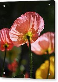 Icelandic Poppies Acrylic Print