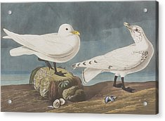 Ivory Gull Acrylic Print by John James Audubon