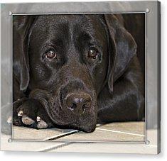 Labrador Retriever A1a Acrylic Print